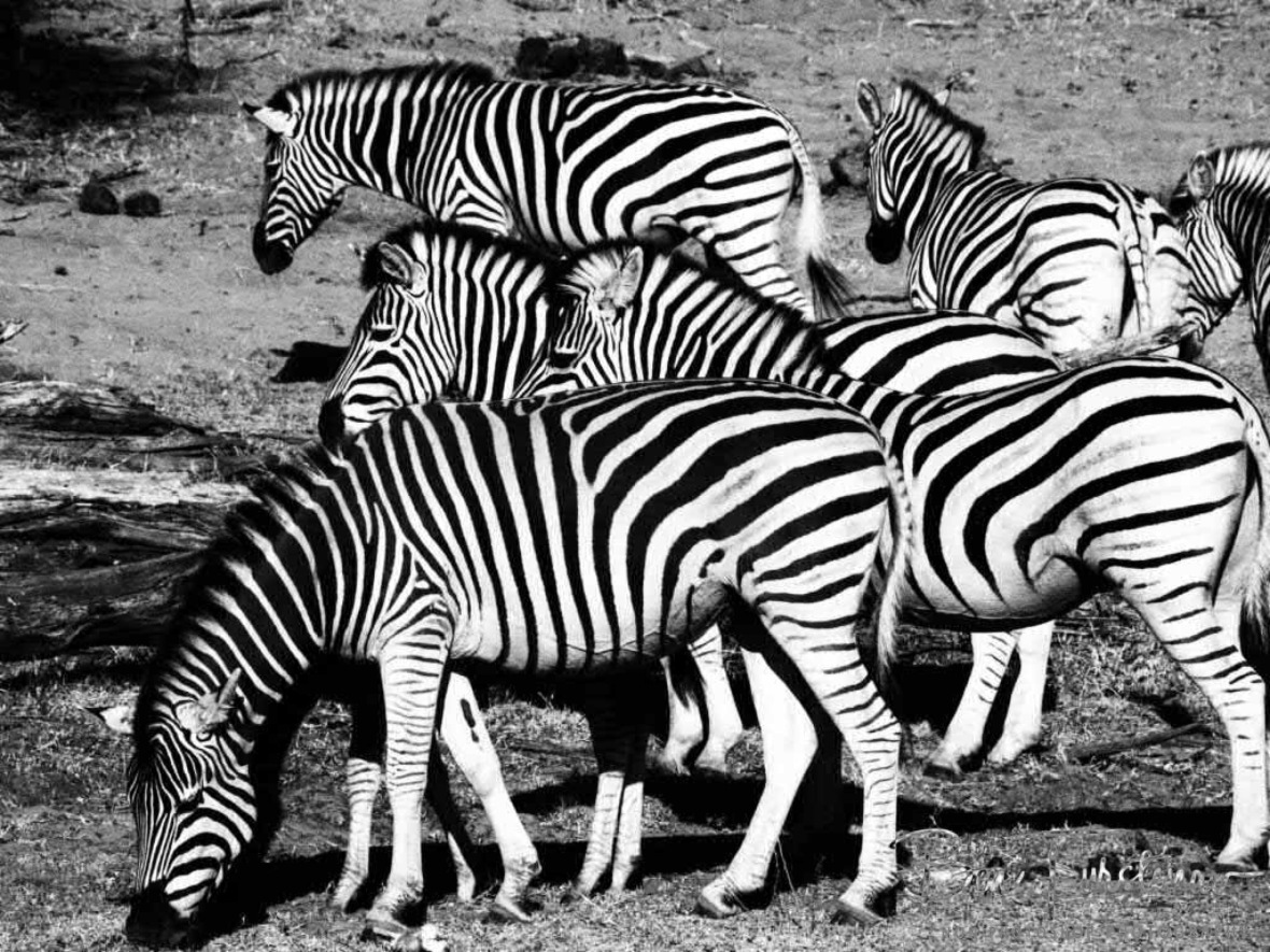 Black and white bonanza, Makgadikgadi National Park, Botswana