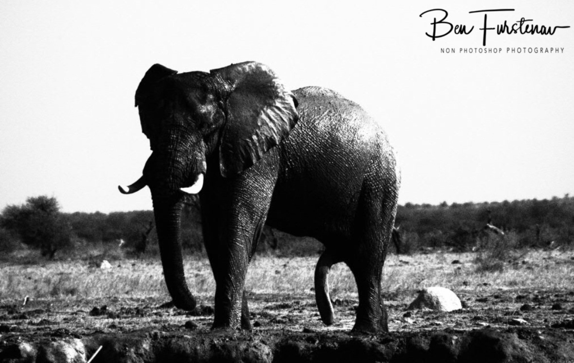 Excited bull, Nxai National Park, Botswana