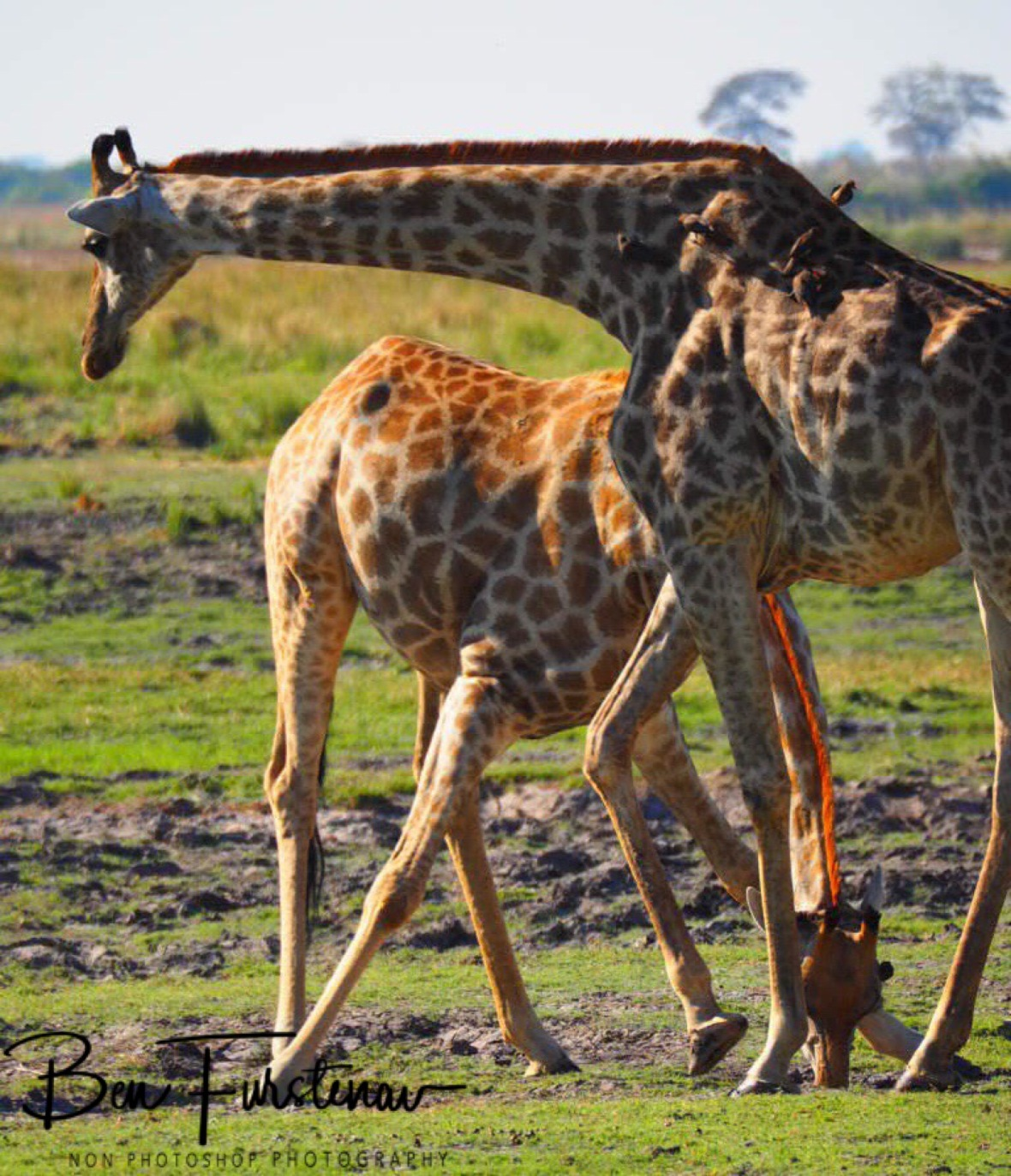 Overlooking the situation, Chobe National Park, Botswana