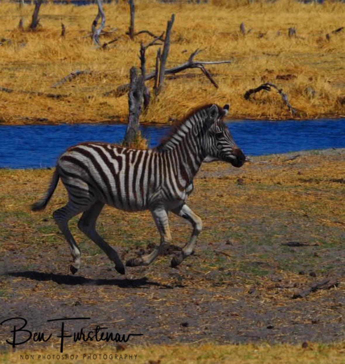 Bouncing away, Makgadikgadi National Park, Botswana