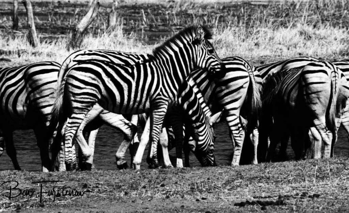 Drinking zebras in black and white, Makgadikgadi National Park, Botswana