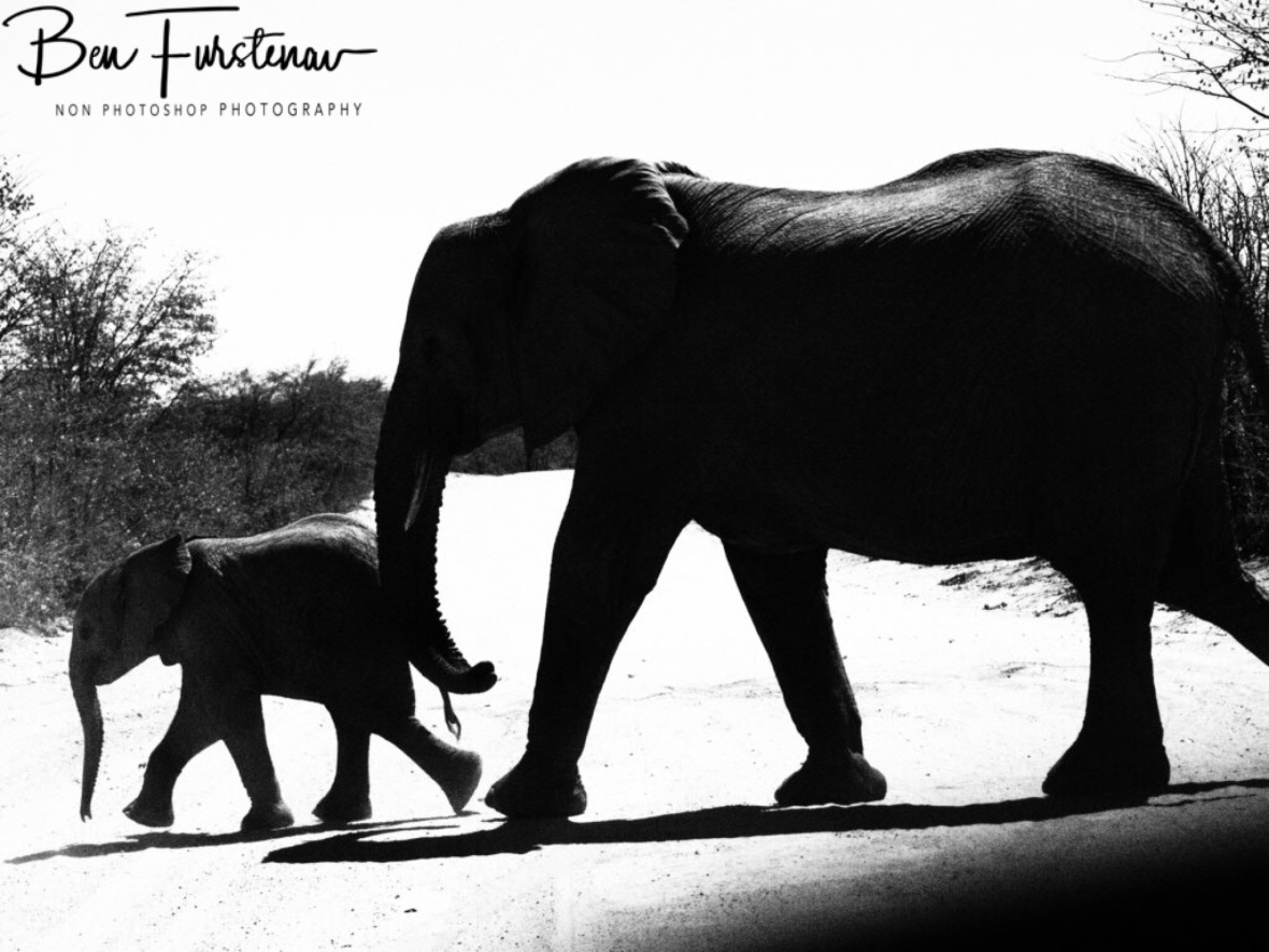Youngster leads the way, Savuti, Chobe National Park, Botswana
