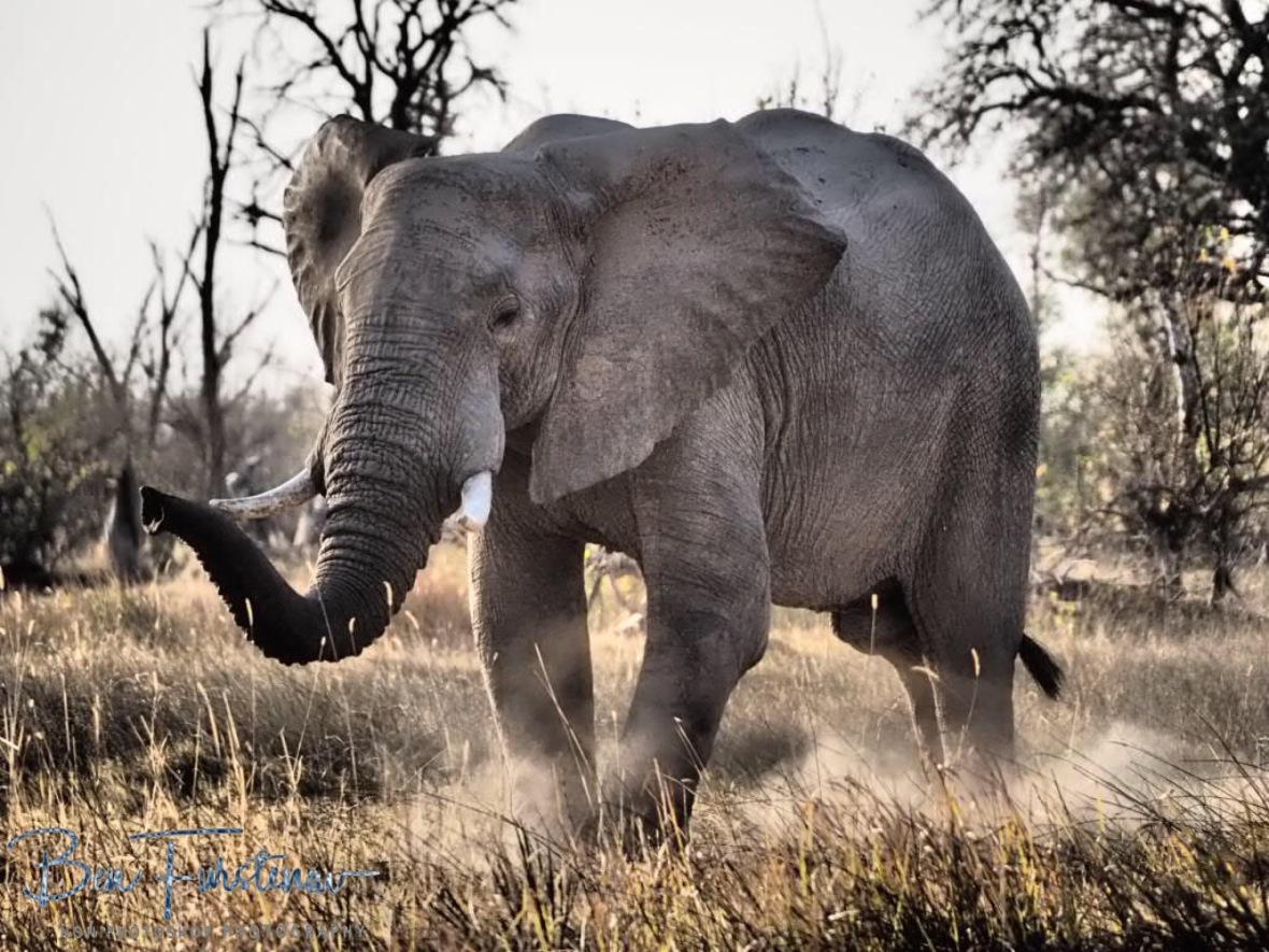 Kicking up dust, Moremi National Park, Botswana