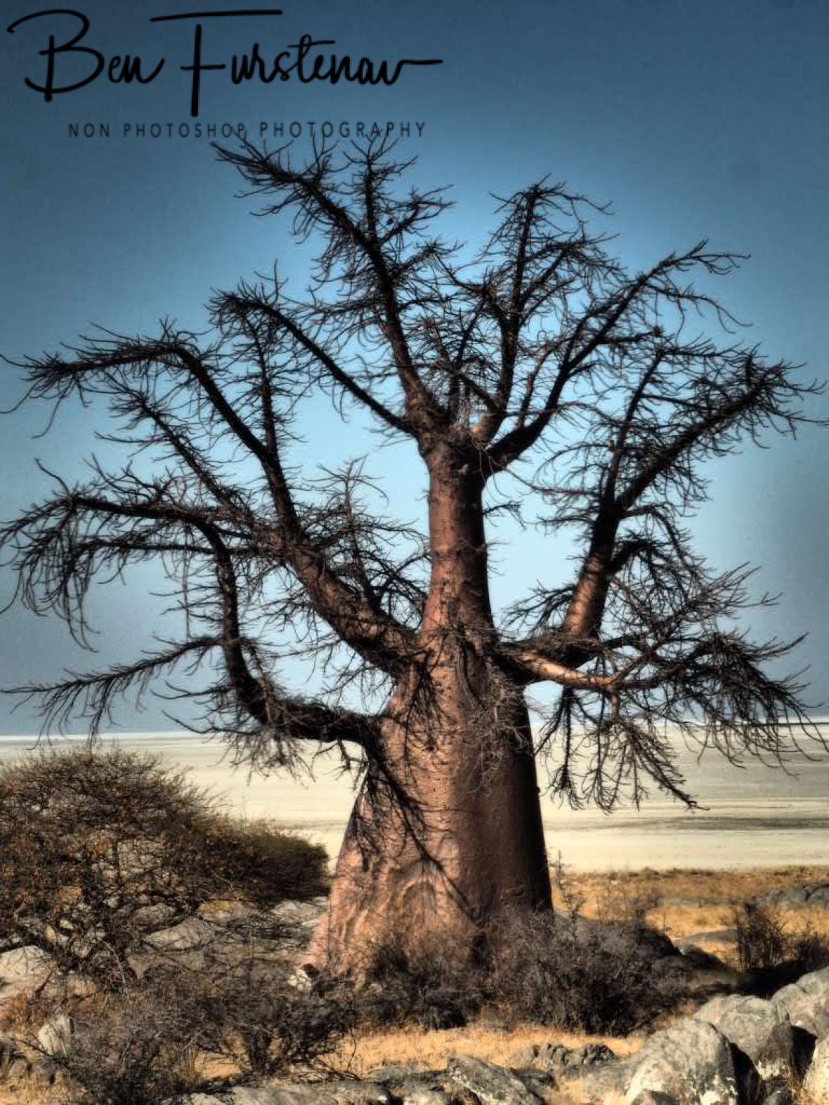 Giant spiderweb? Kubu Island, Makgadikgadi Salt Pans, Botswana