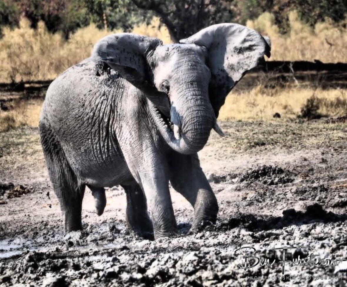 Spraying his Privates, Moremi National Park, Botswana