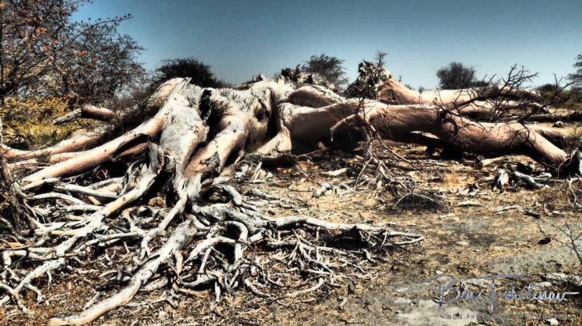 Sad sight to see, Makgadikgadi Salt Pans, Botswana