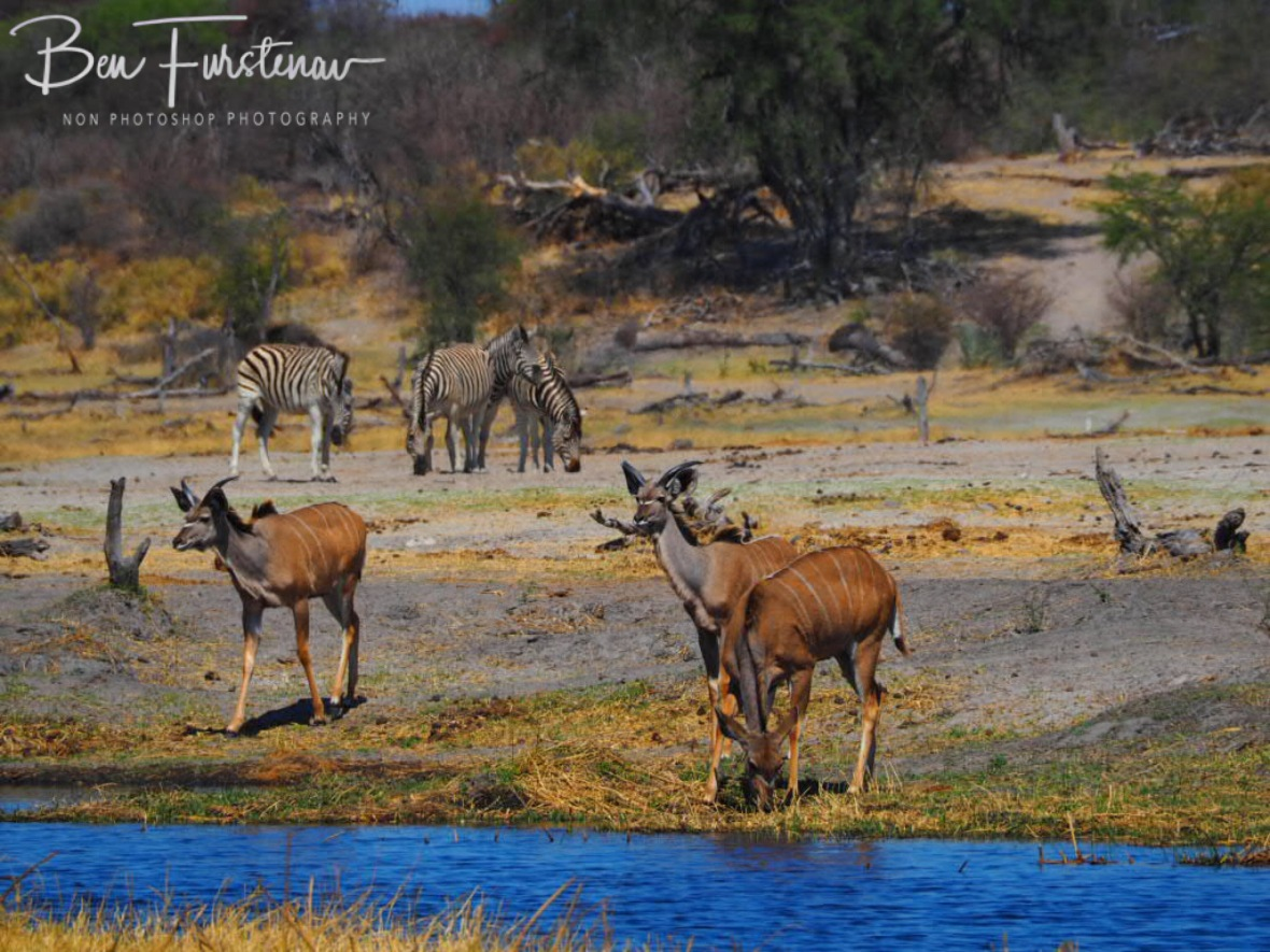 Kudus in the mix, Makgadikgadi National Park, Botswana