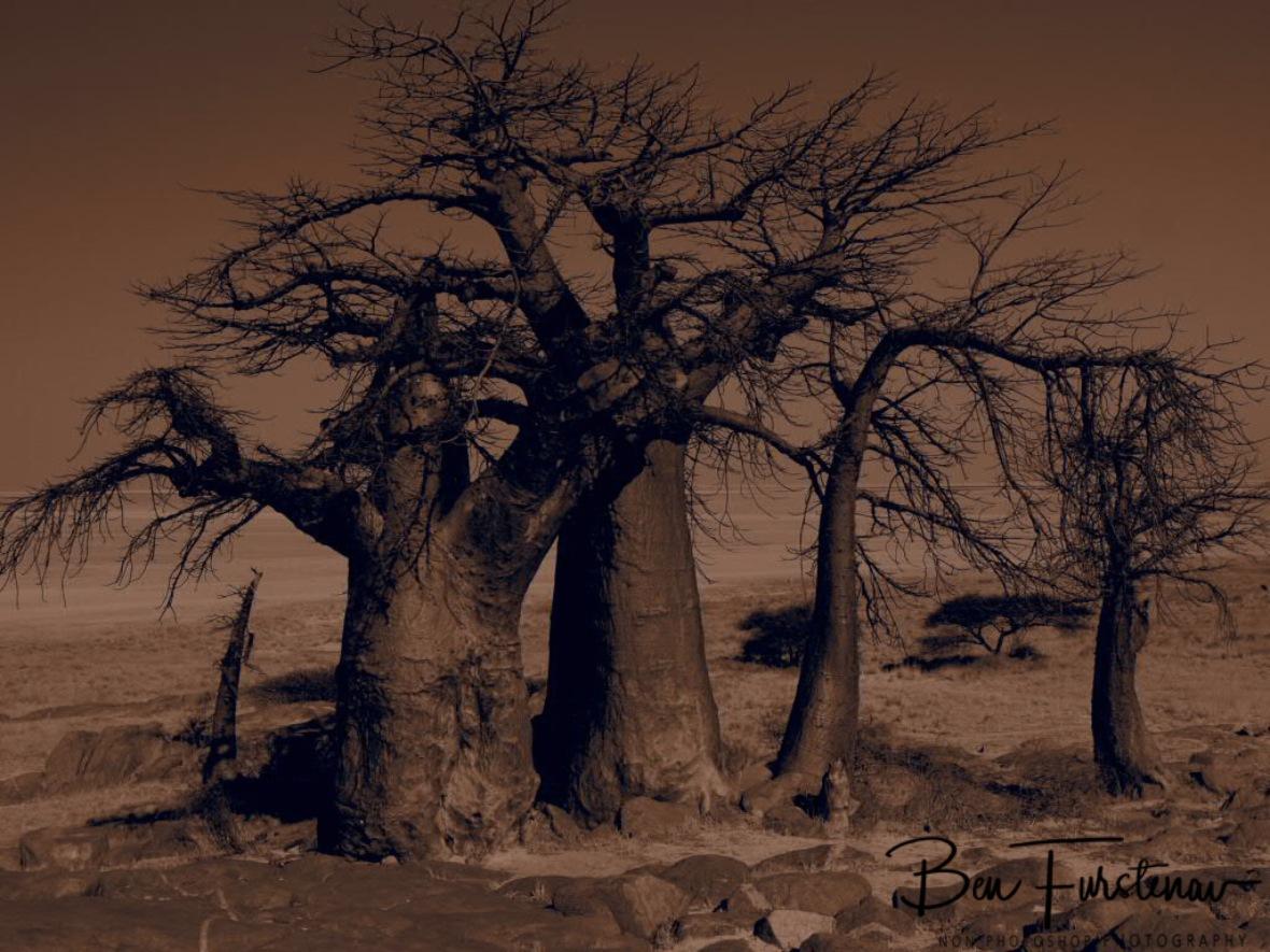 Happy Baobab family, Kubu Island, Makgadikgadi Salt Pans, Botswana