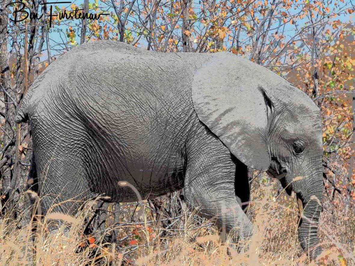 Happy feeding youngster, Savuti, Chobe National Park, Botswana