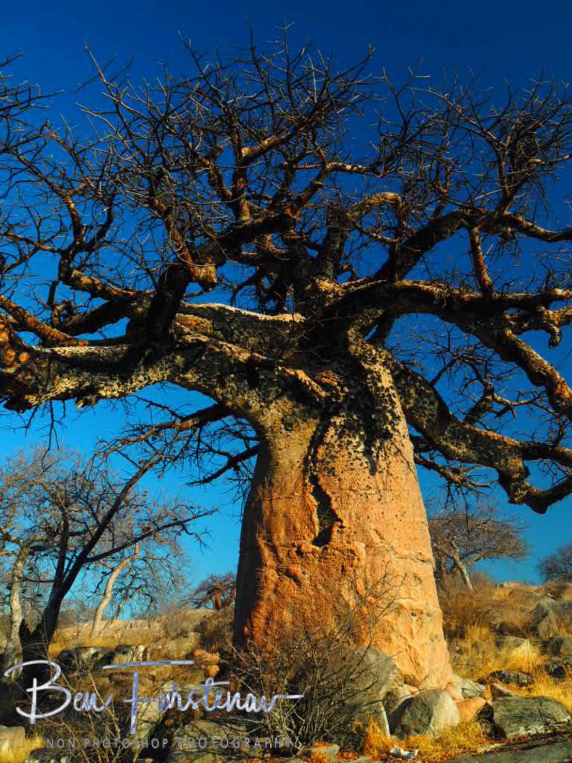 Baobab Chickenpox, Kubu Island, Makgadikgadi Salt Pans, Botswana