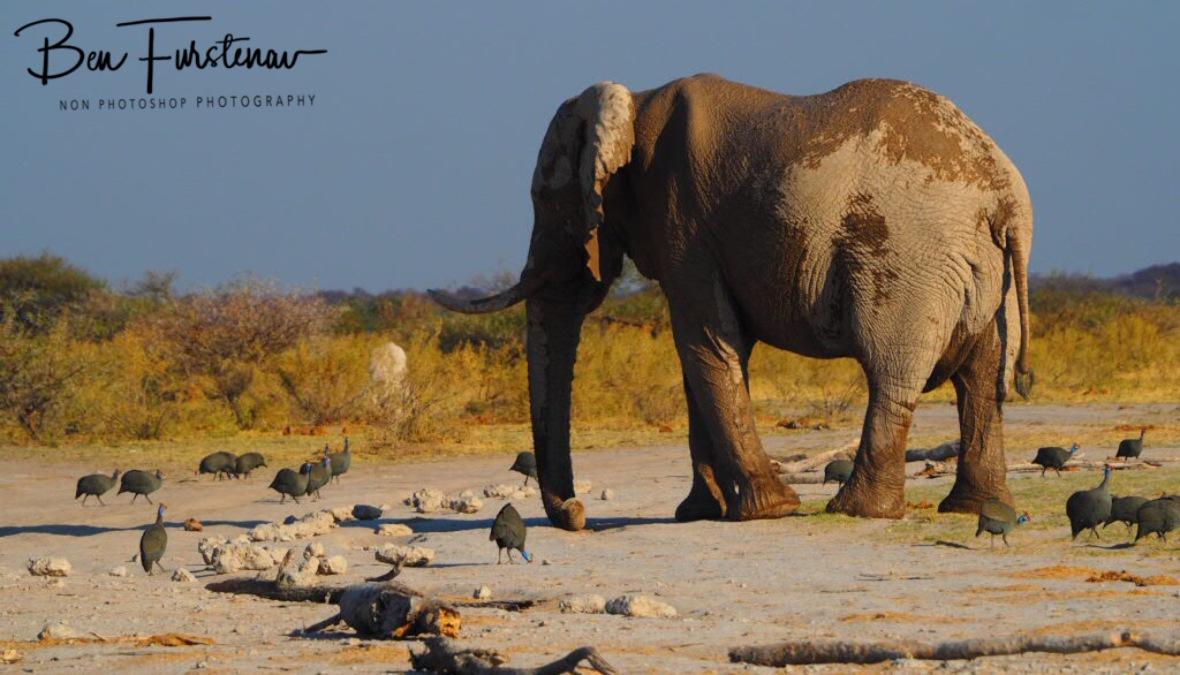 Dodging Guinea Fowls, Nxai National Park, Botswana