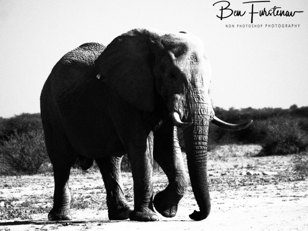 Huge bull with large ivory, Nxai National Park, Botswana
