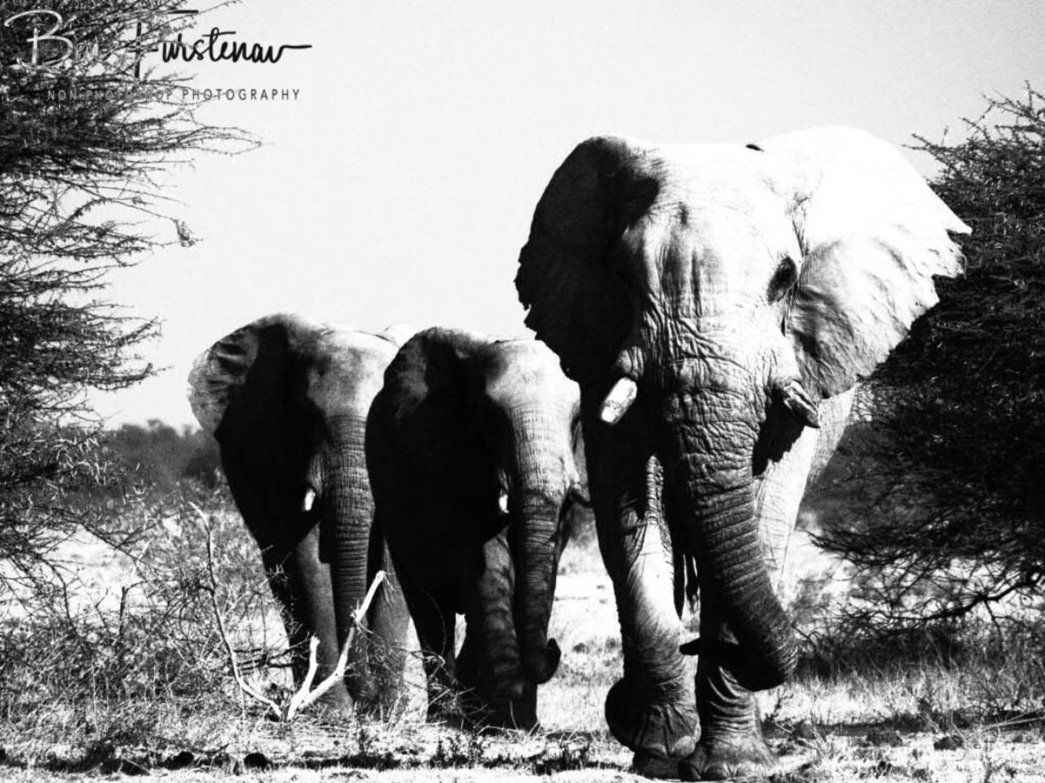 Bush parade, Nxai National Park, Botswana