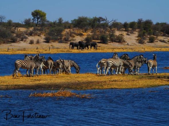 Zebra island, elephant shores, Makgadikgadi National Park, Botswana