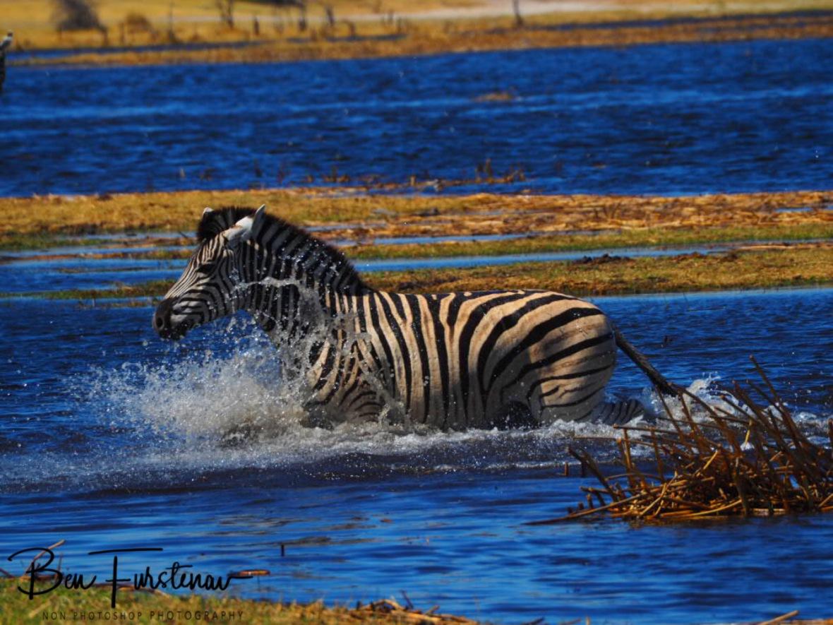 Last survivor, Makgadikgadi National Park, Botswana
