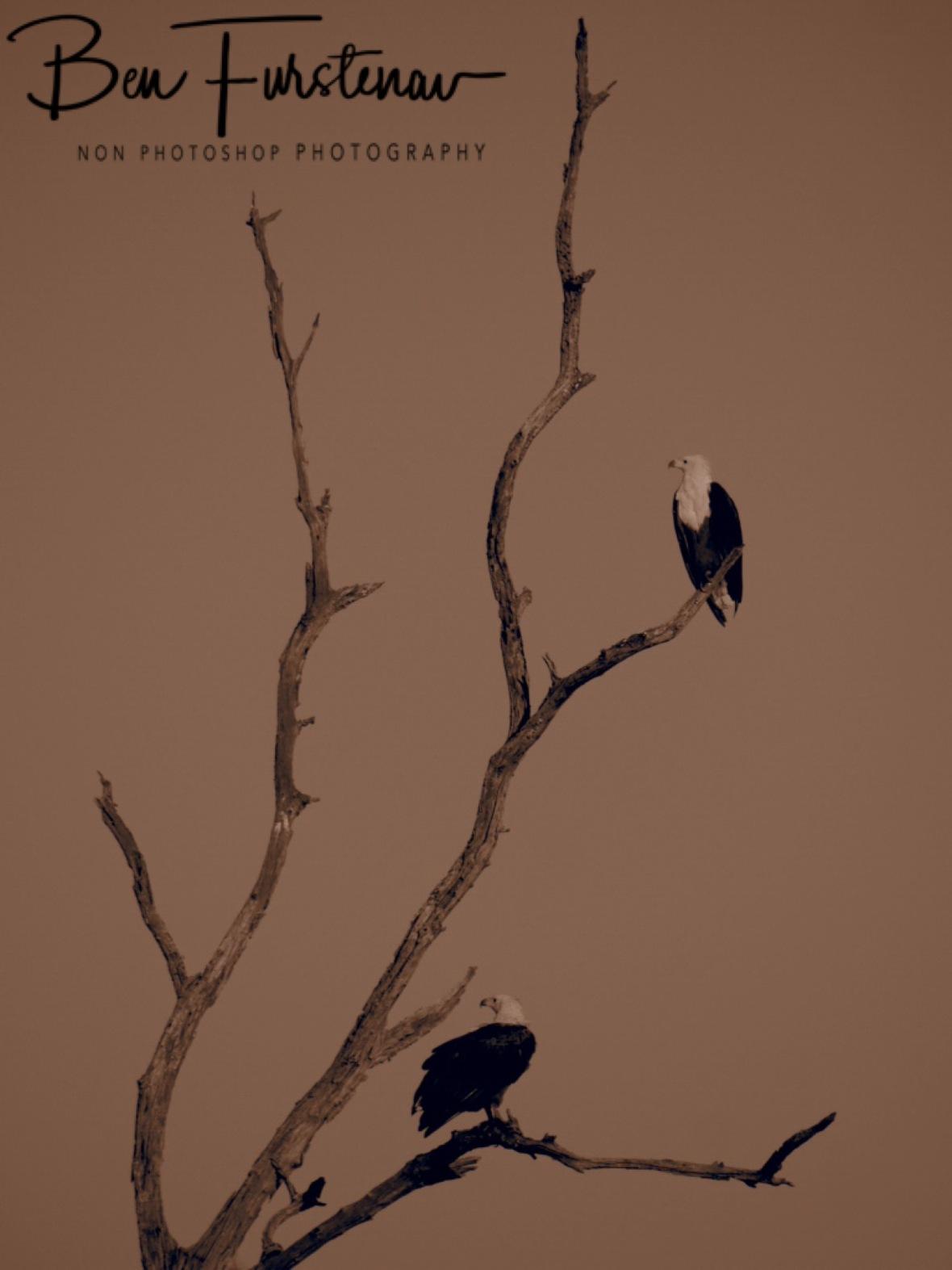 Eagles in sepia, Chobe National Park, Botswana