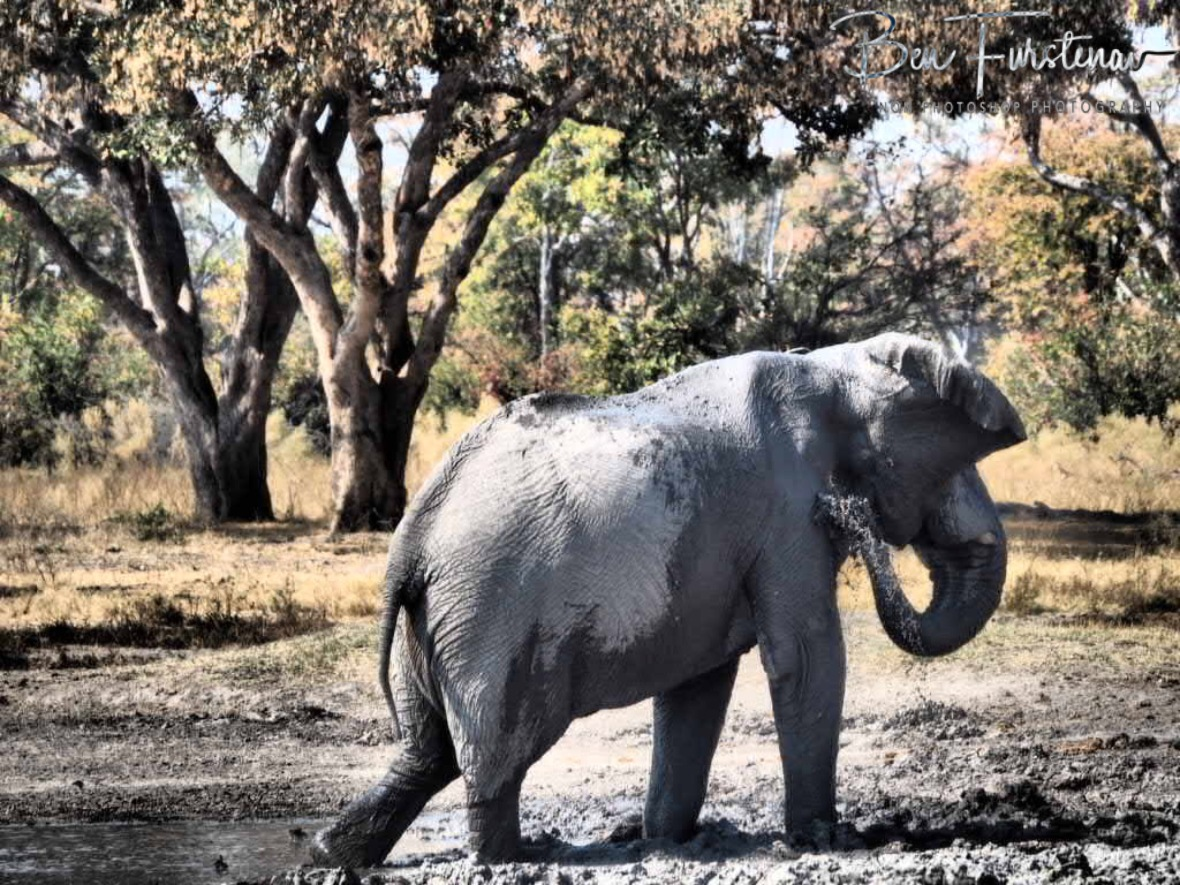 One last mud shower, Moremi National Park, Botswana