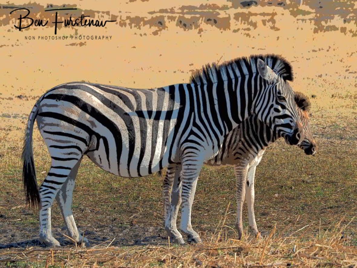 Protective motherhood, Makgadikgadi National Park, Botswana