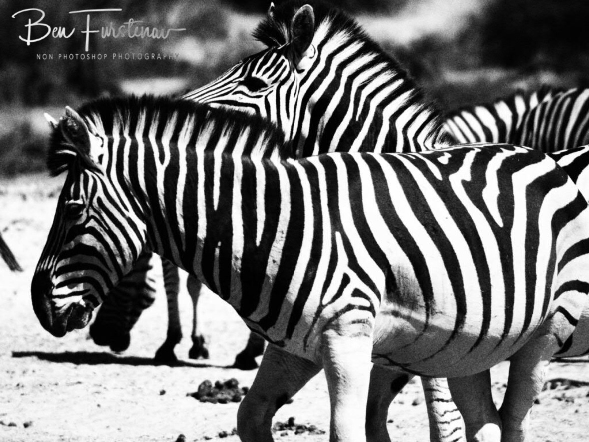 Cute in black and white, Makgadikgadi National Park, Botswana