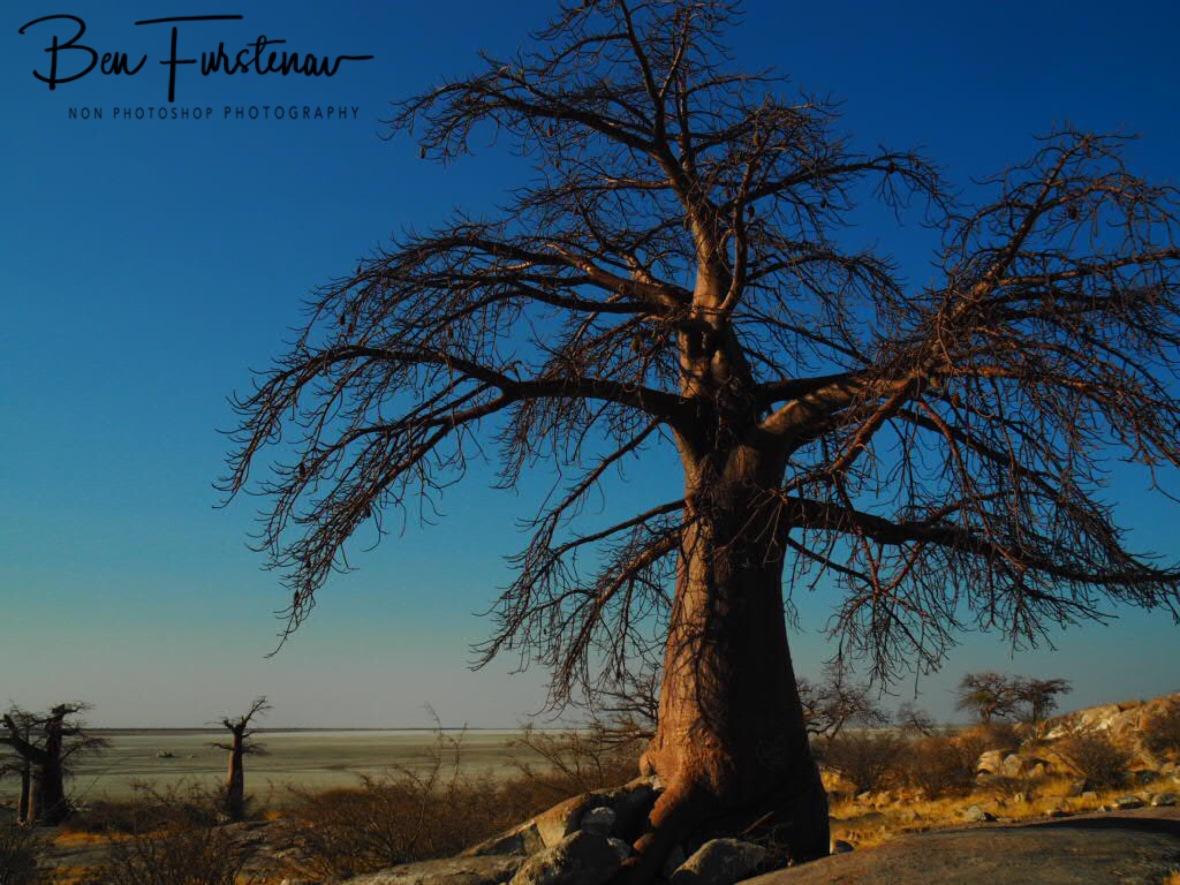 Baobabs in Blue skies, Kubu Island, Makgadikgadi Salt Pans, Botswana