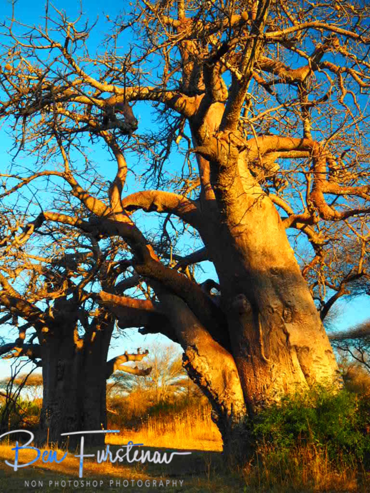 Baobab country, Chobe National Park, Botswana