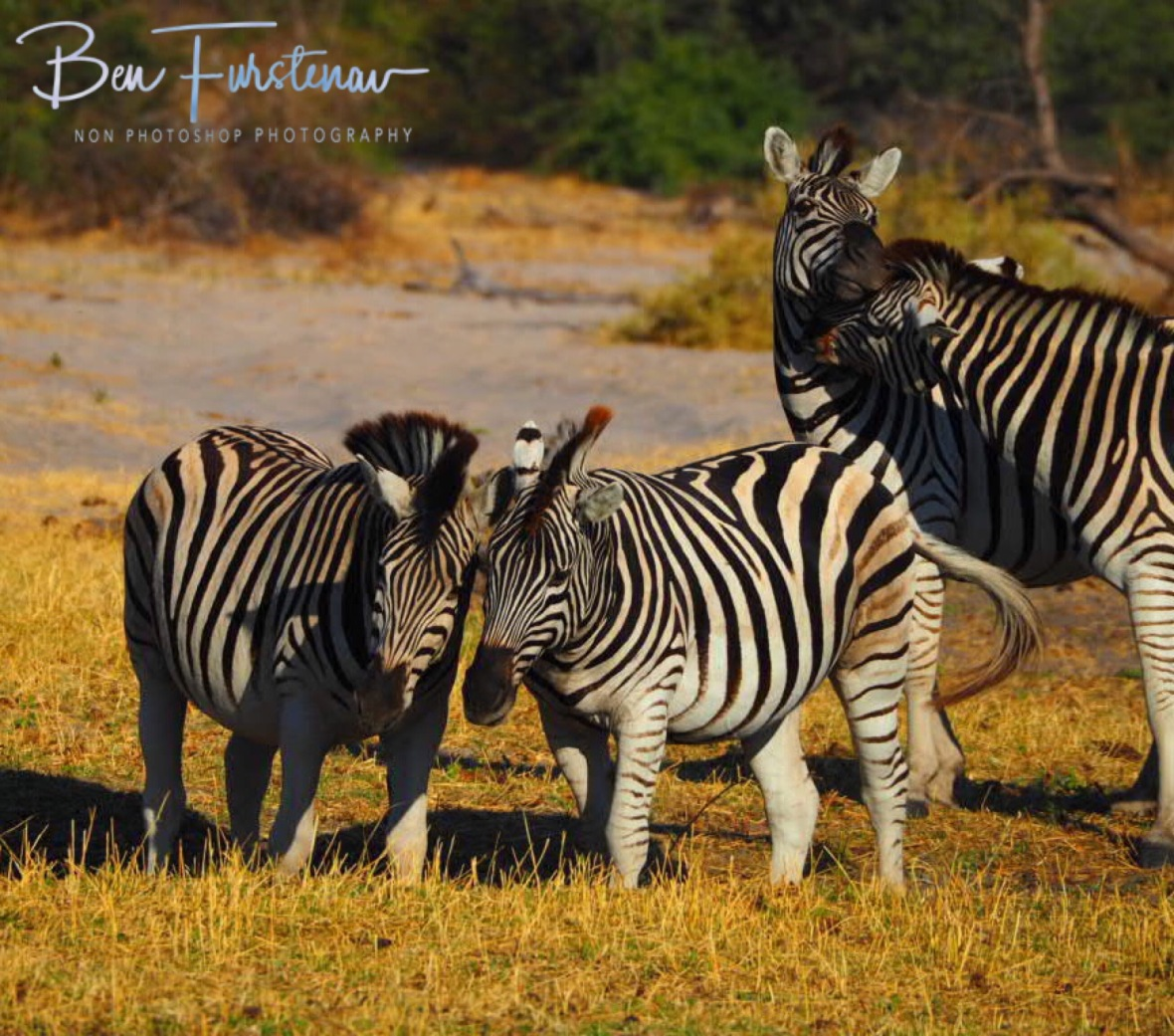 Friendly tussle, Makgadikgadi National Park, Botswana