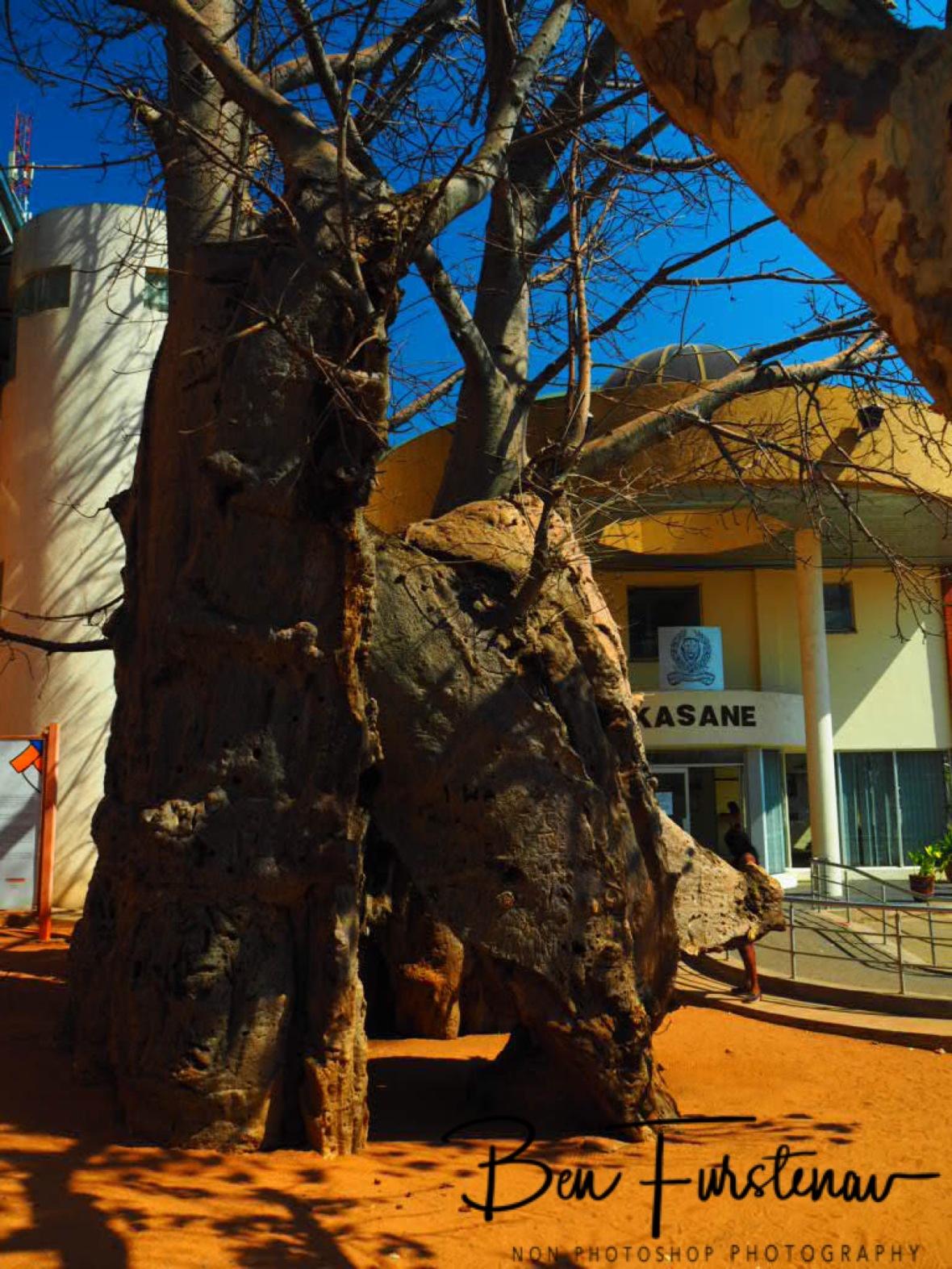 Holy and hollow Baobab prison at Kasane police station, Botswana
