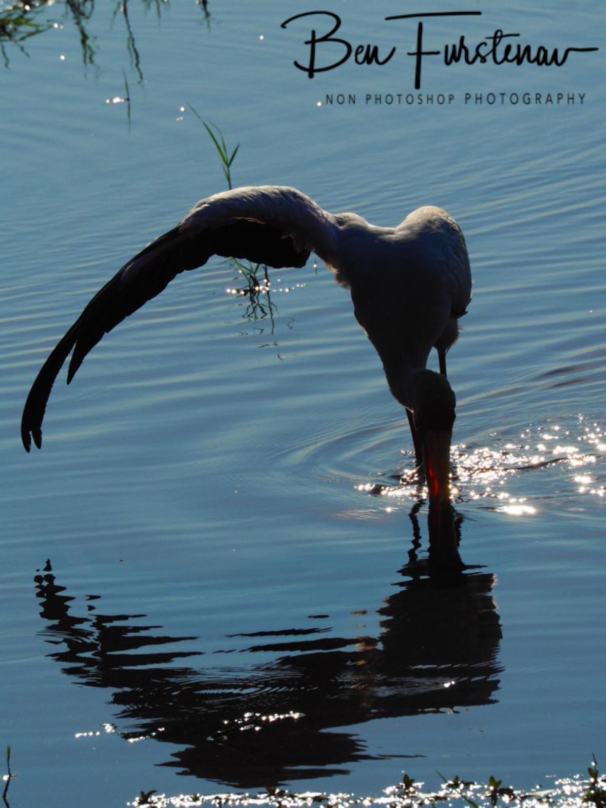 Casting a shadow, Chobe National Park, Botswana