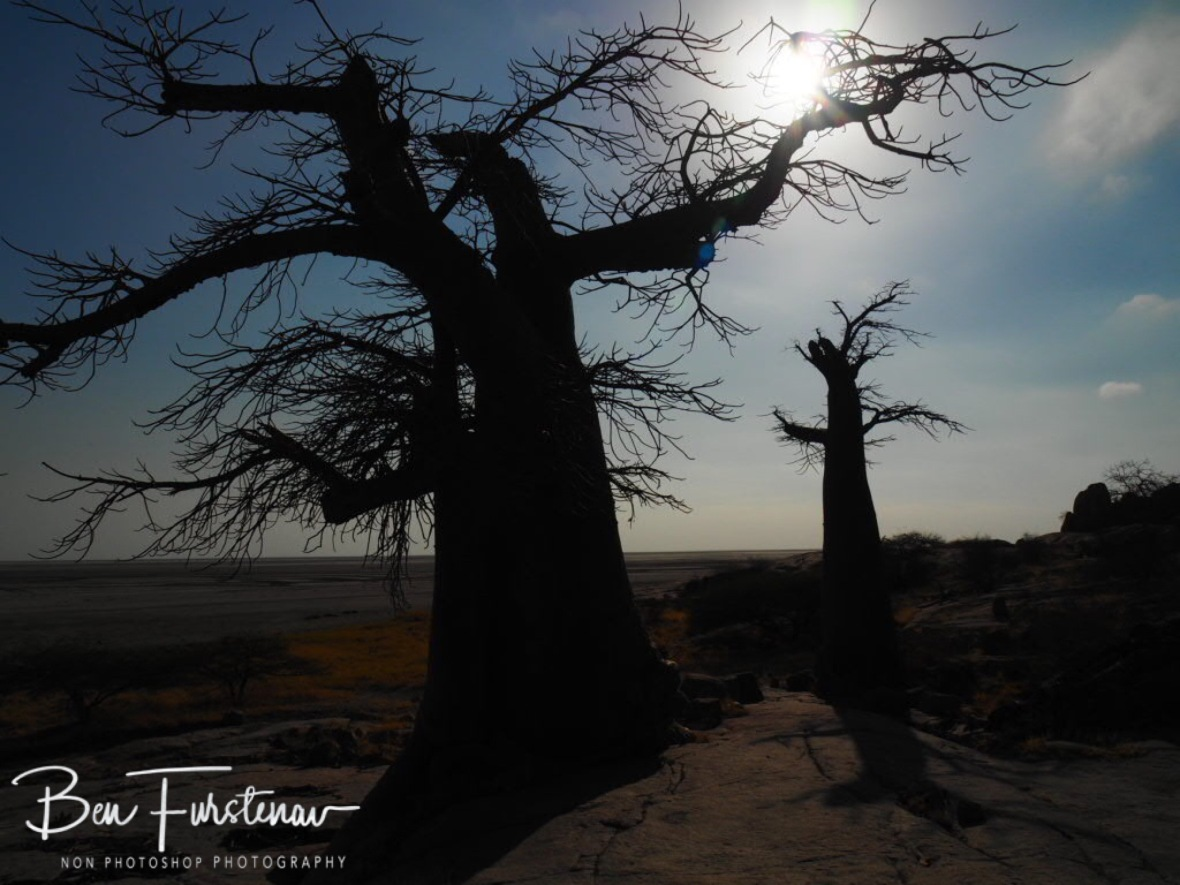 Giants in early morning sun, Kubu Island, Makgadikgadi Salt Pans, Botswana