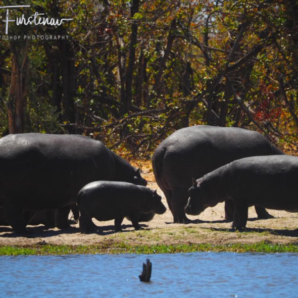 Hippo family out off water, Savuti, Chobe National Park, Botswana