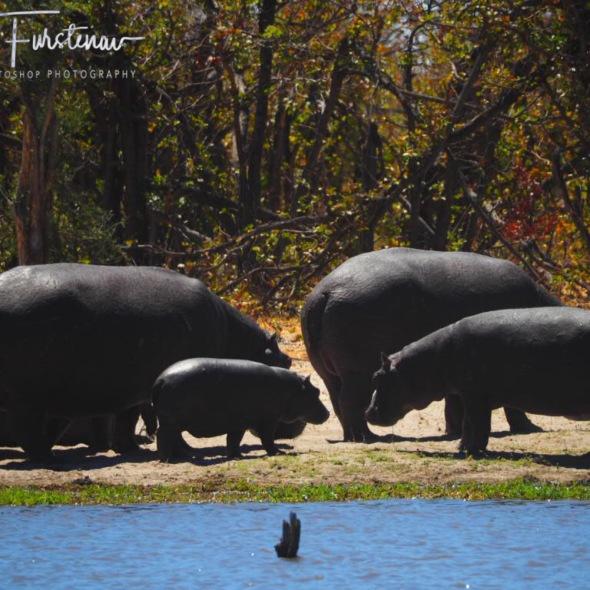Hippo family out off water, Savuti, Chobe National Park, Botswana
