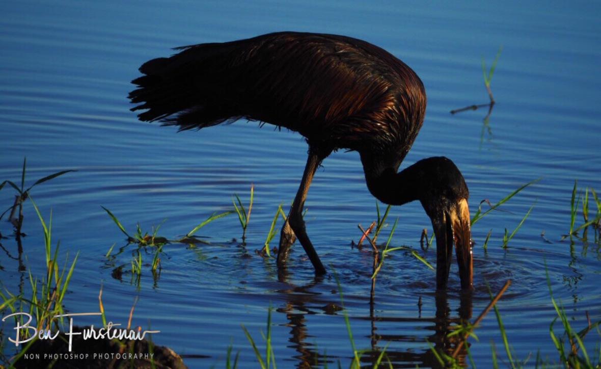 Storking the waters, Chobe National Park, Botswana