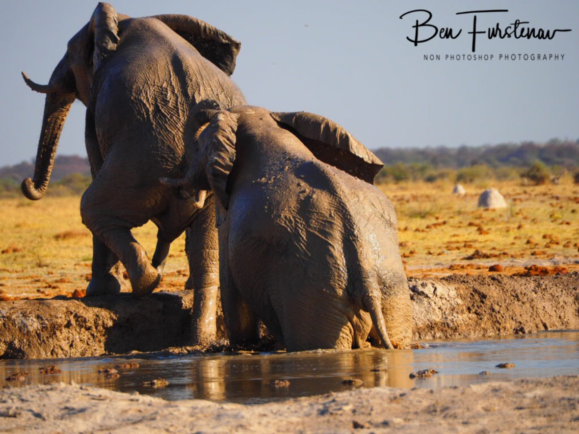 With a little help from your friends, Nxai National Park, Botswana