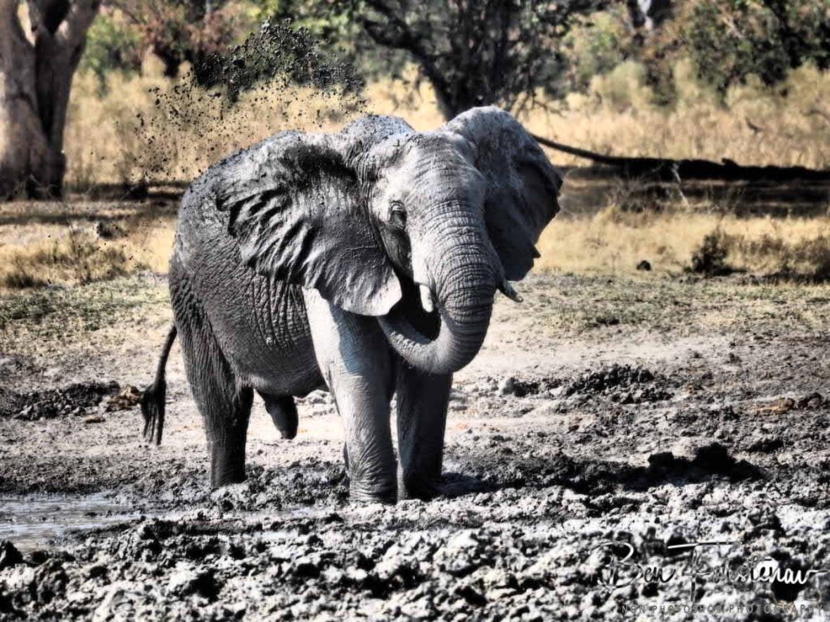 Sergeant, Moremi National Park, Botswana