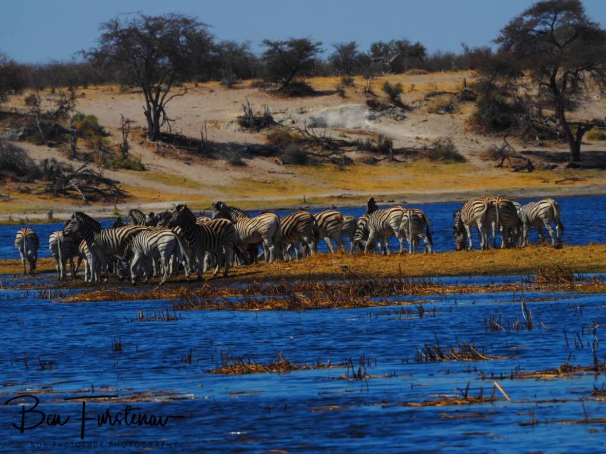 Zebra island in Makgadikgadi National Park, Botswana