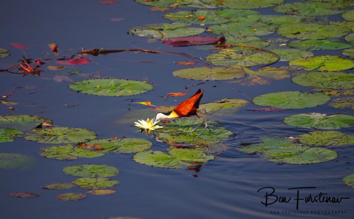 Stalking Water lilies, Mudumu National Park, Namibia