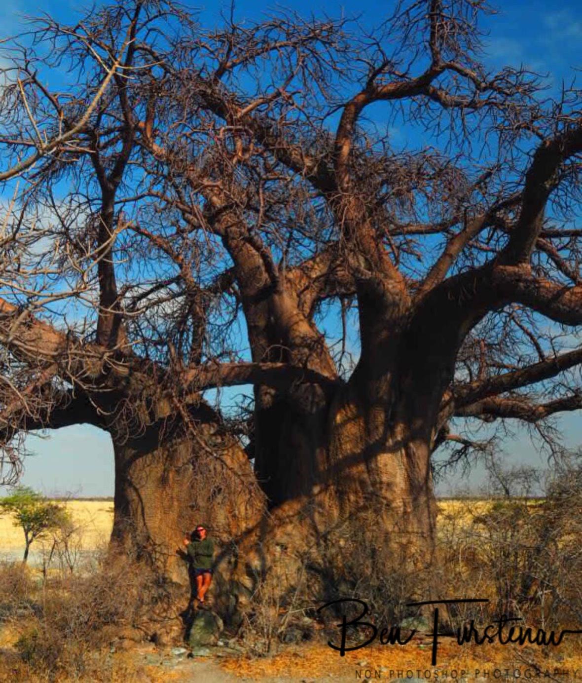 Colossal in size, Kubu Island, Makgadikgadi Salt Pans, Botswana