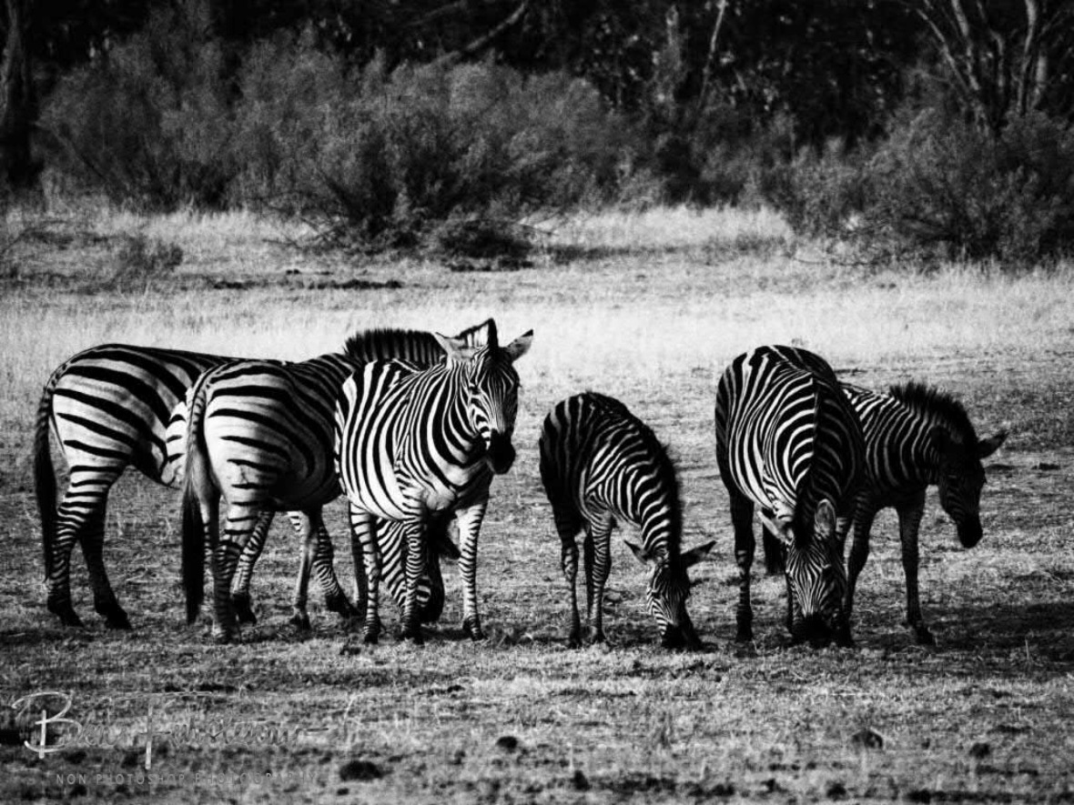 Grazing zebras, Moremi National Park, Botswana