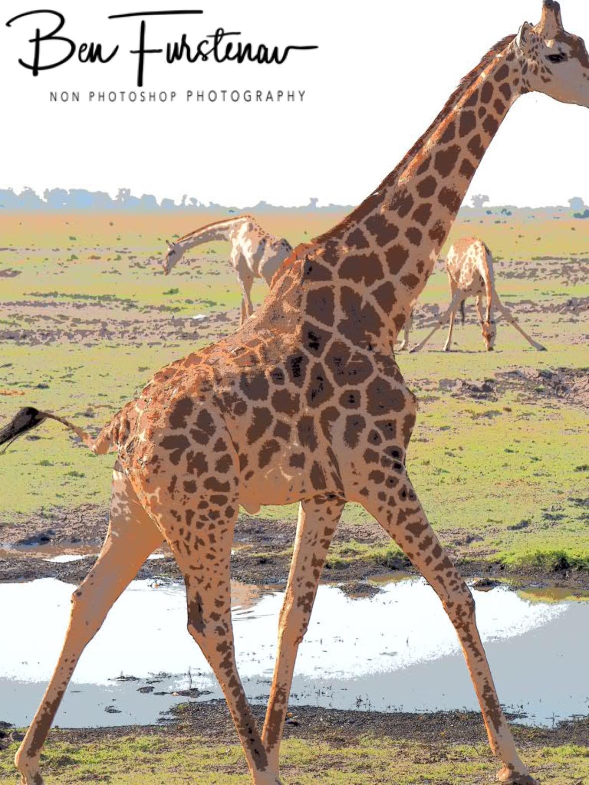 Giraffes near and far, Chobe National Park, Botswana