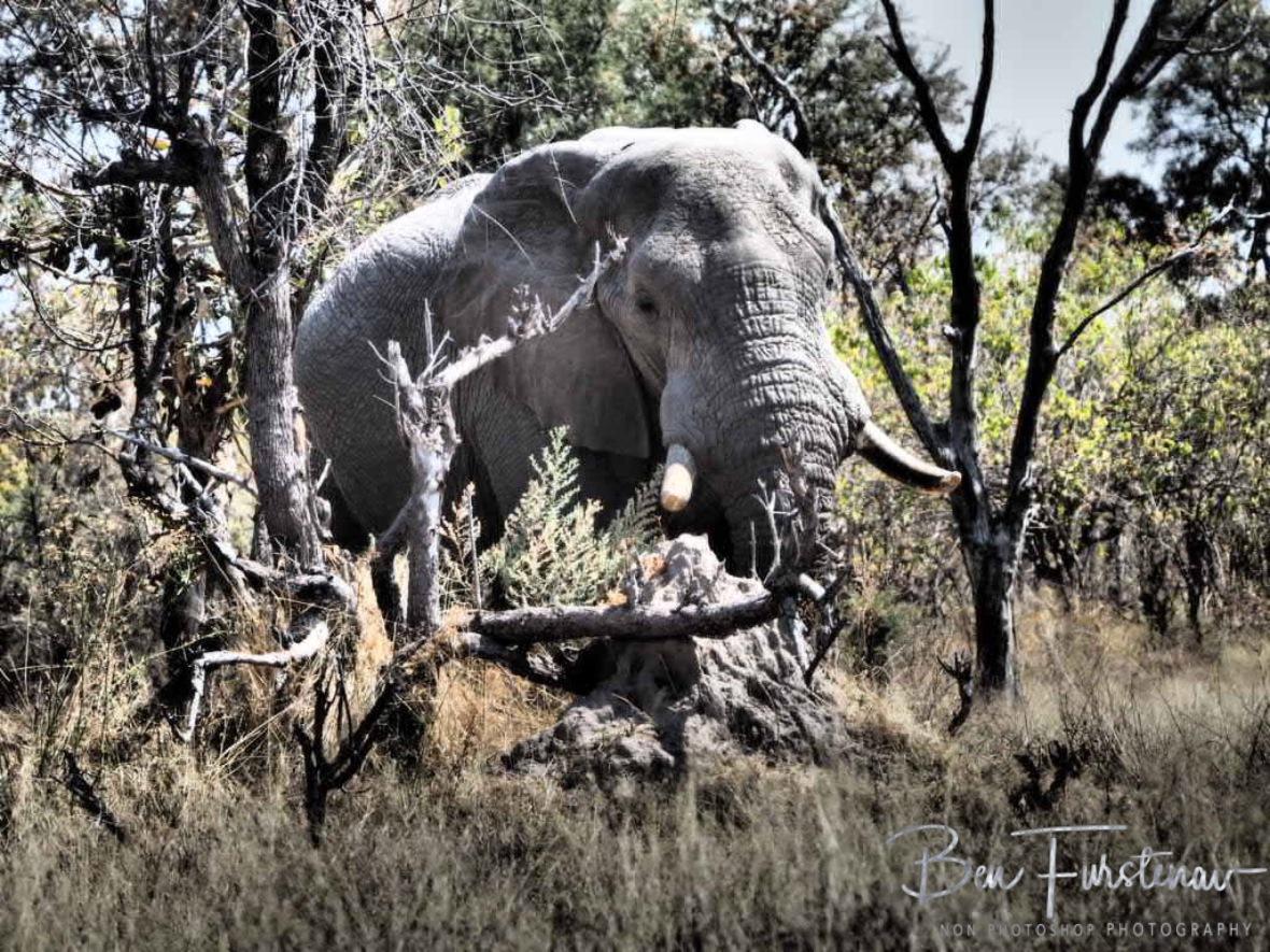 One tusk bull, Moremi National Park, Botswana