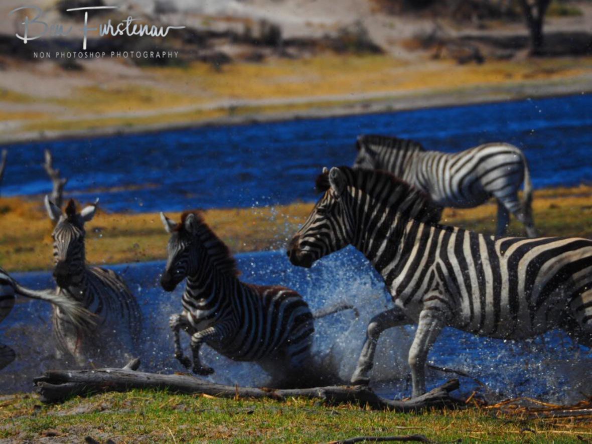 Water stampede, Makgadikgadi National Park, Botswana