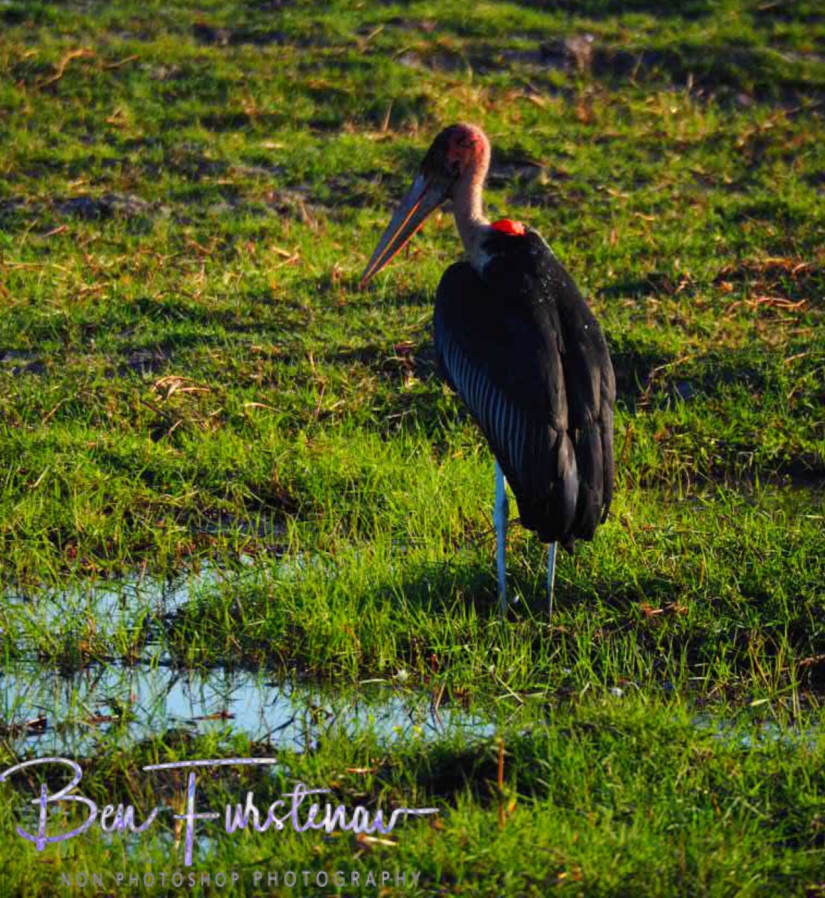 A lonesome Marabou Stork, Chobe National Park, Botswana