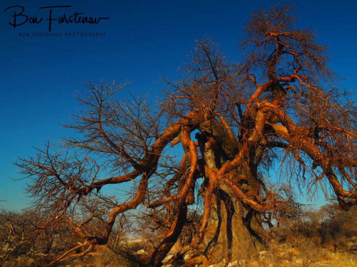 Baobab eating Baobab? Kubu Island, Makgadikgadi Salt Pans, Botswana