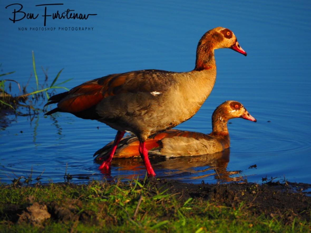 Colourful ducks, Chobe National Park, Botswana