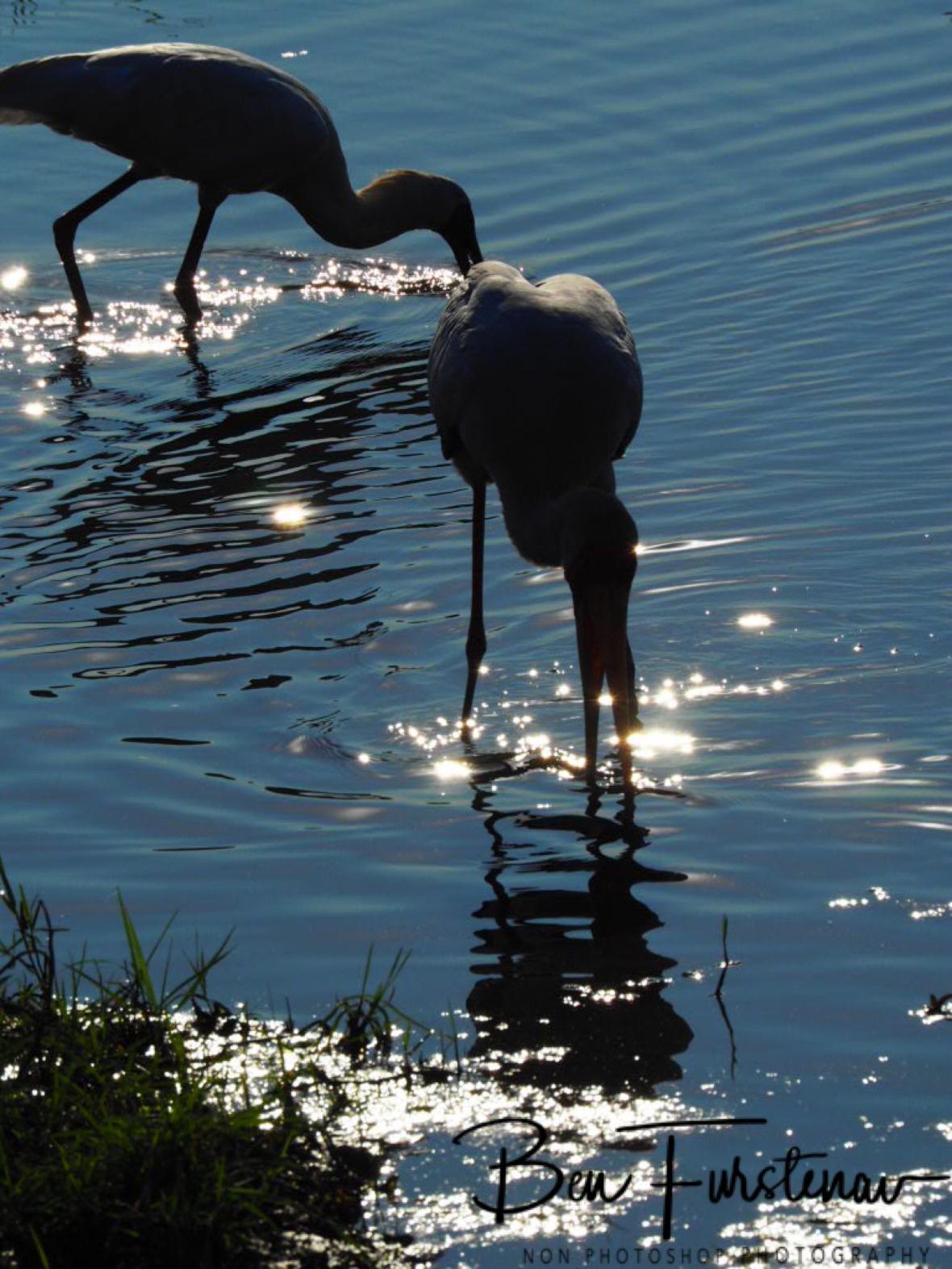 Yellow Billed Stork double, Chobe National Park, Botswana