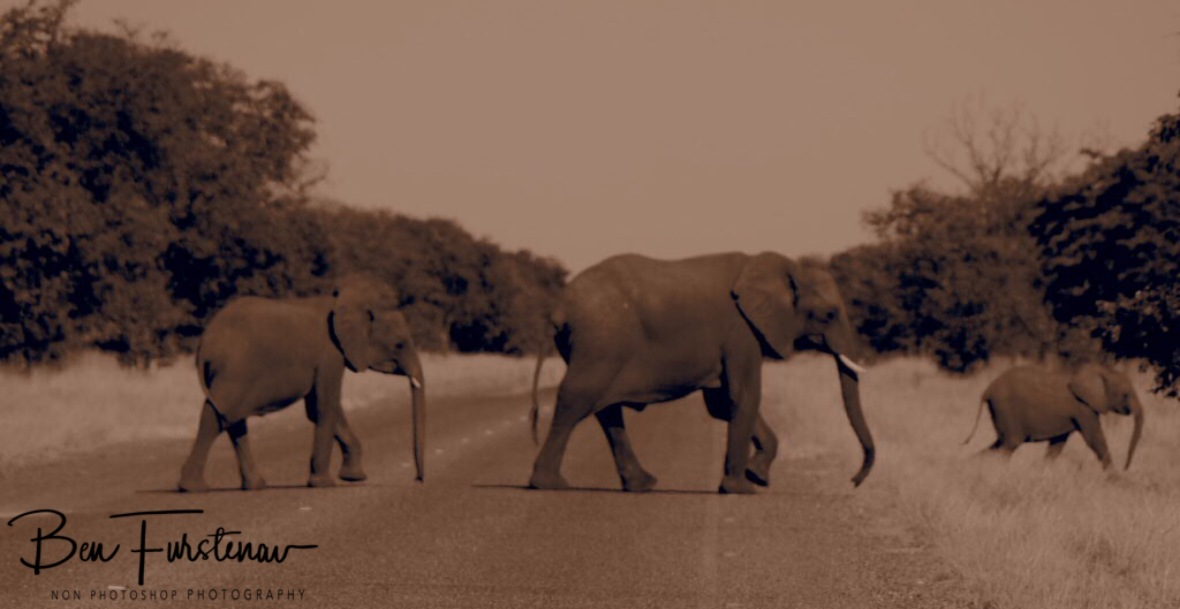 Calf always cross last and finish first, too cute, Chobe National Park, Botswana