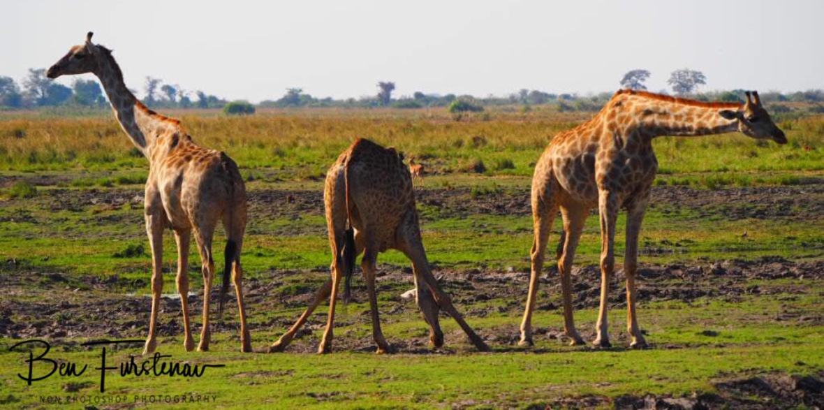 One looks left, the other looks right, Chobe National Park, Botswana