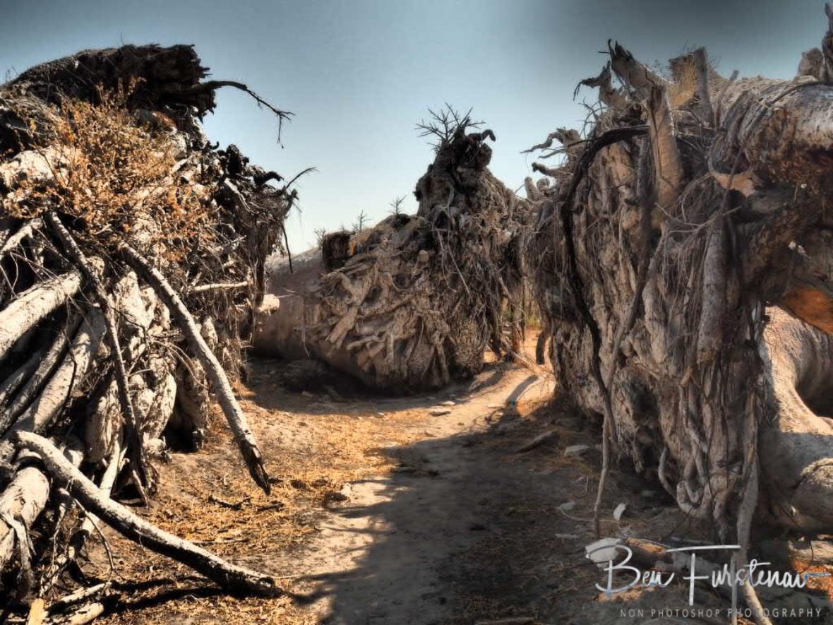 Surpringly short root system, Makgadikgadi Salt Pans, Botswana