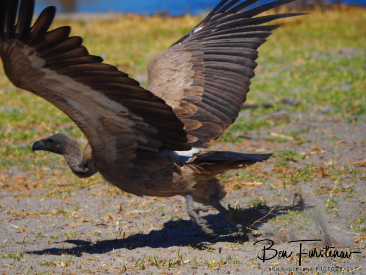 Vulture Take off, Makgadikgadi National Park, Botswana