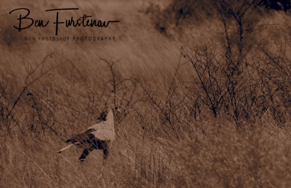 Secretary Bird on snaky mission, Chobe National Park, Botswana